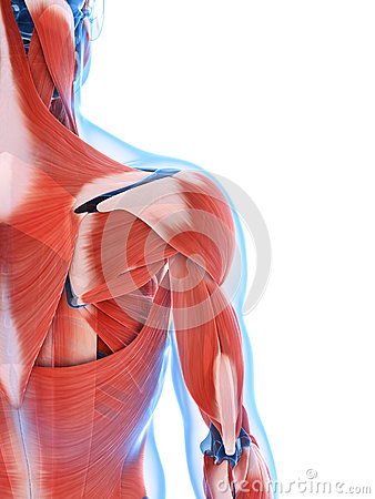 The male musculature