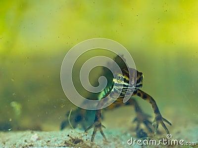 Male newt