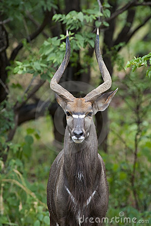 Free Male Nyala Royalty Free Stock Image - 10437176