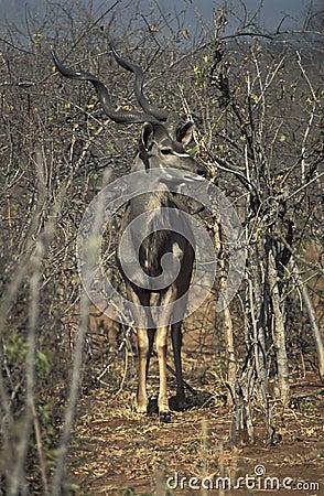 Free Male Of Greater Kudu Gazelle, Botswana. Royalty Free Stock Photography - 53693727