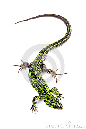 Free Male Of Sand Lizard Isolated On White Stock Image - 40350671