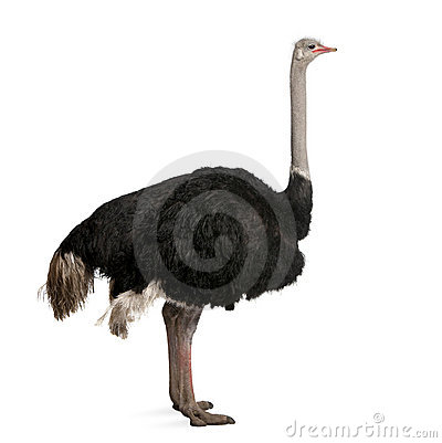 Male ostrich in front of a white background