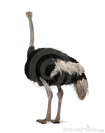 Free Male Ostrich In Front Of A White Background Stock Images - 11785654