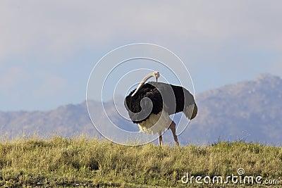 Male Ostrich Preening
