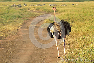 Male ostrich walking down a street