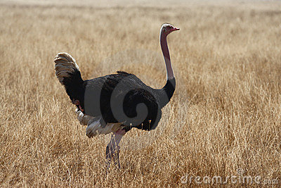 Male ostrich walking in safari