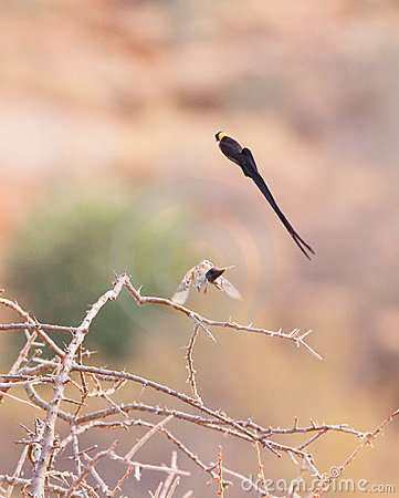 The male Paradise Whydah´s dance
