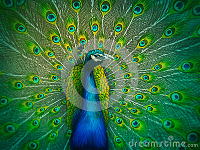 Male Peacock - Digital Painting