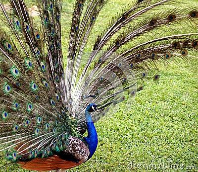 Male Peacock Display