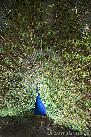 Male Peacock Feathers Full Plumage