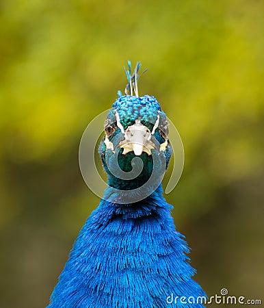 Male Peacock Looking Forward