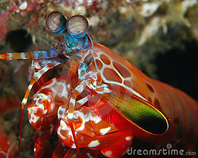 Male Peacock Mantis Shrimp