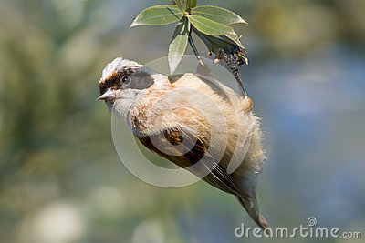 A male of penduline tit  / Remiz pendulinus