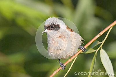 A male of penduline tit / Remiz pendulinus