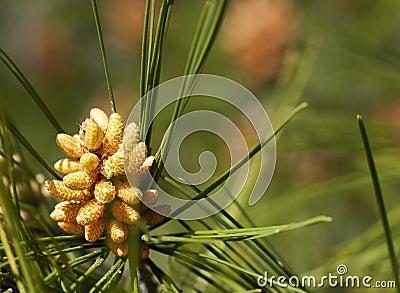 Pine Pollen Cone
