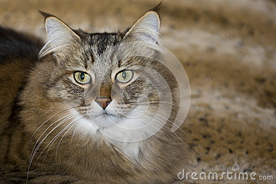 Long-Whiskered Pixie Bob Cat