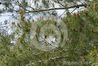 Male pollen cones (strobili) among needles on Mediterranean pine tree