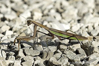 Male Praying Mantis on Stones