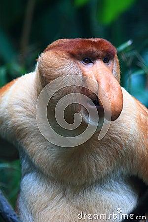 A Male Proboscis Monkey (Bekantan)