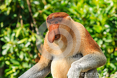 Male Proboscis Monkey in the mangroves