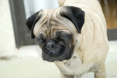 Male Pug with Expressive Face