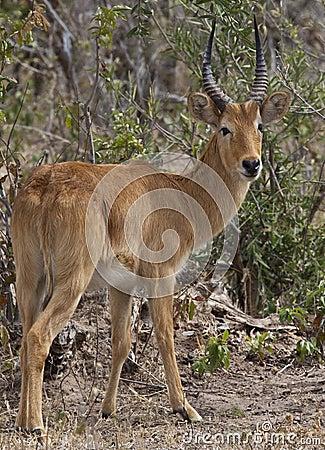 Male Puku Antelope (Kobus vardonii) - Botswana