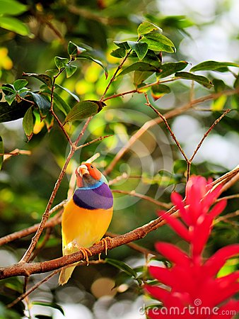 Male rainbow finch bird