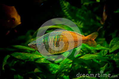 Male rainbowfish