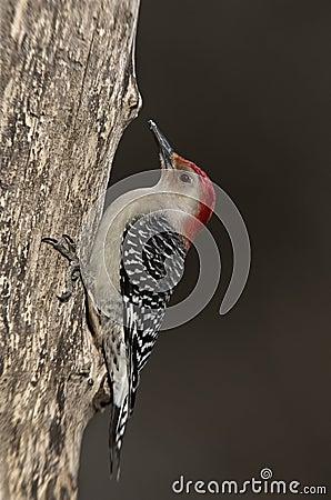 Male Red-bellied Woodpecker (Melanerpes carolinus)