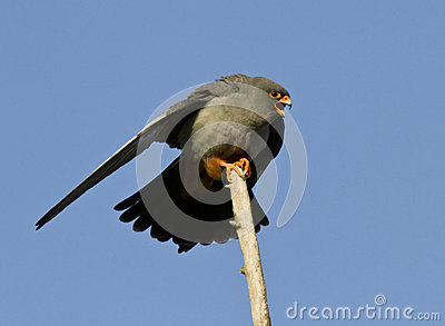 A male Red-footed falcon-2.