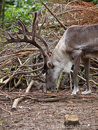 Male reindeer in natural habitat