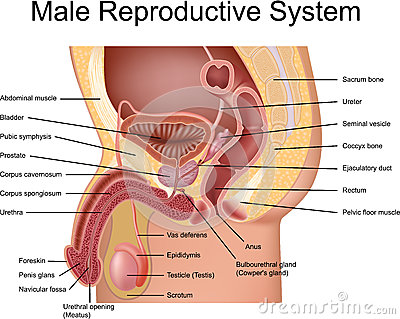 male reproductive system diagram - unmasa dalha, Human Body
