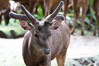 A Male Roe Deer