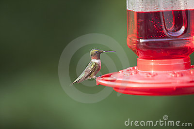 Male Ruby Throated Hummingbird Stock Photo - Image: 10348230