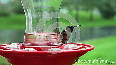 Male Ruby Throated Hummingbird, Archilochus colubris, genomborrad och drickande vid fågelmatare under en regndusch arkivfilmer