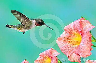 Male Ruby- throated Hummingbird at Daylilies