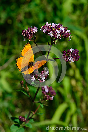 Free Male Scarce Copper (Lycaena Virgaureae) Sitting On A Flowering Oregano (Origanum Vulgare) Stock Photography - 66102892