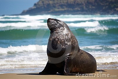Male sea lion on the beach