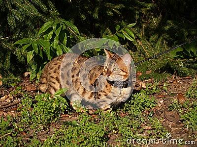 Male Serval Savannah Cat on a Leash