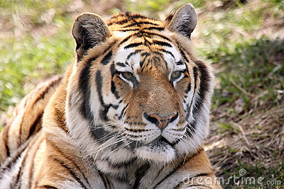 Male Siberian Tiger