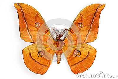 Male Silk Moth Antheraea yamamai