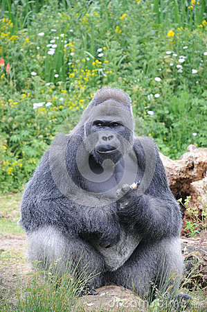 Male Silver back Western Lowland Gorilla sat eating