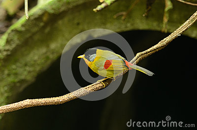 Male silver-eared mesia