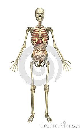 Male Skeleton with Internal Organs