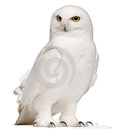 Male Snowy Owl, Bubo scandiacus, 8 years old