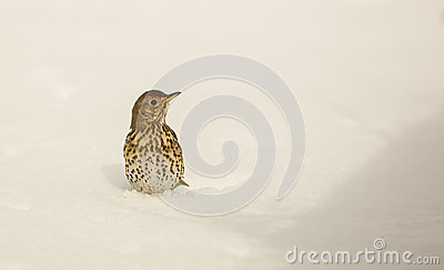 Song Thrush stuck in the snow