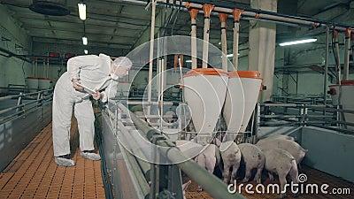 Male specialist, veterinarian is observing farm pigs while feeding. Male specialist is observing farm pigs while feeding. 4K stock footage