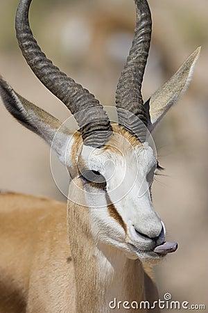 Free Male Springbok Stock Photo - 3039700