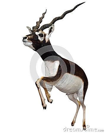 Free Male Springbok (Antidorcas Marsupialis) Stock Image - 11292761