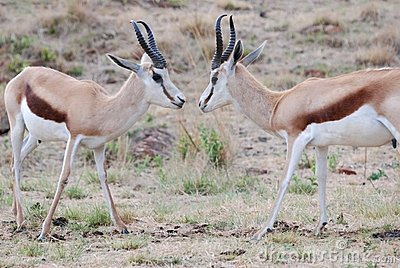 Male Springboks Fighting
